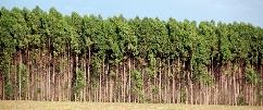 floresta de eucalipto ocupa uma área de 4 ha em Hulha Negra.