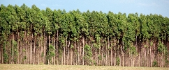 A floresta de eucalipto ocupa uma área de 12 hectares.