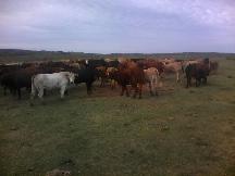 Celic promoveu leilão de bovinos na Região da Campanha