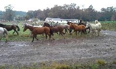 Celic fará nova alienação de equinos no interior do Estado