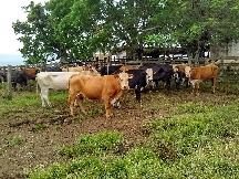 Celic promove alienação de bovinos em abril